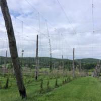 hager-hops-Field-VinesNorthway