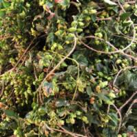 hager-hops-Plant-Vine-Northway