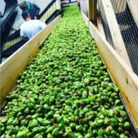 hager-hops-harvest-Northway